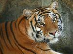 A_Regal_Bengal_Tiger