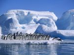 Adelie_Penguins_in_Hope_Bay%2C_Antarctica