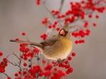 Bird_On_Mountain_Ash
