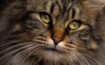 Contemplative_Brown_Kitty