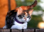 Domestic_Cat
