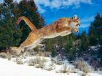Leaping_Bobcat