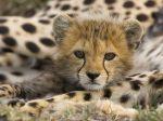 Portrait_of_a_Cheetah_Cub%2C_Masai_Mara_Reserve%2C_Kenya