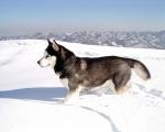 Siberian_Husky