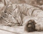 Sleeping_Cat%2C_Sepia_Tone