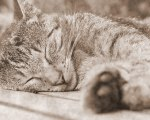 Sleeping_Cat%2C_Sepia_Tone