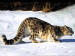 Snow_Leopard_Hunting