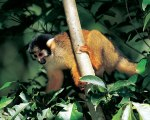 Squirrel_Monkey