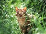 Tabby_Cat_In_Grass