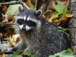 The_Raccoon_Cub