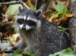 The_Raccoon_Cub
