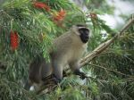 Vervet_Monkey%2C_East_Africa