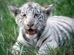 White_Bengal_Tiger_Cub