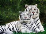 White_Bengal_Tigers