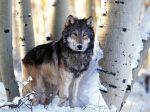 Winter_Hunting%2C_Gray_Wolf
