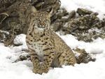 Winter_Snow%2C_Bobcat