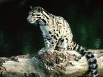 Young_Clouded_Leopard