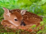 Young_Deer%2C_Fawn