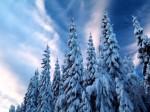 Snow covering trees in rural Varmland, Sweden